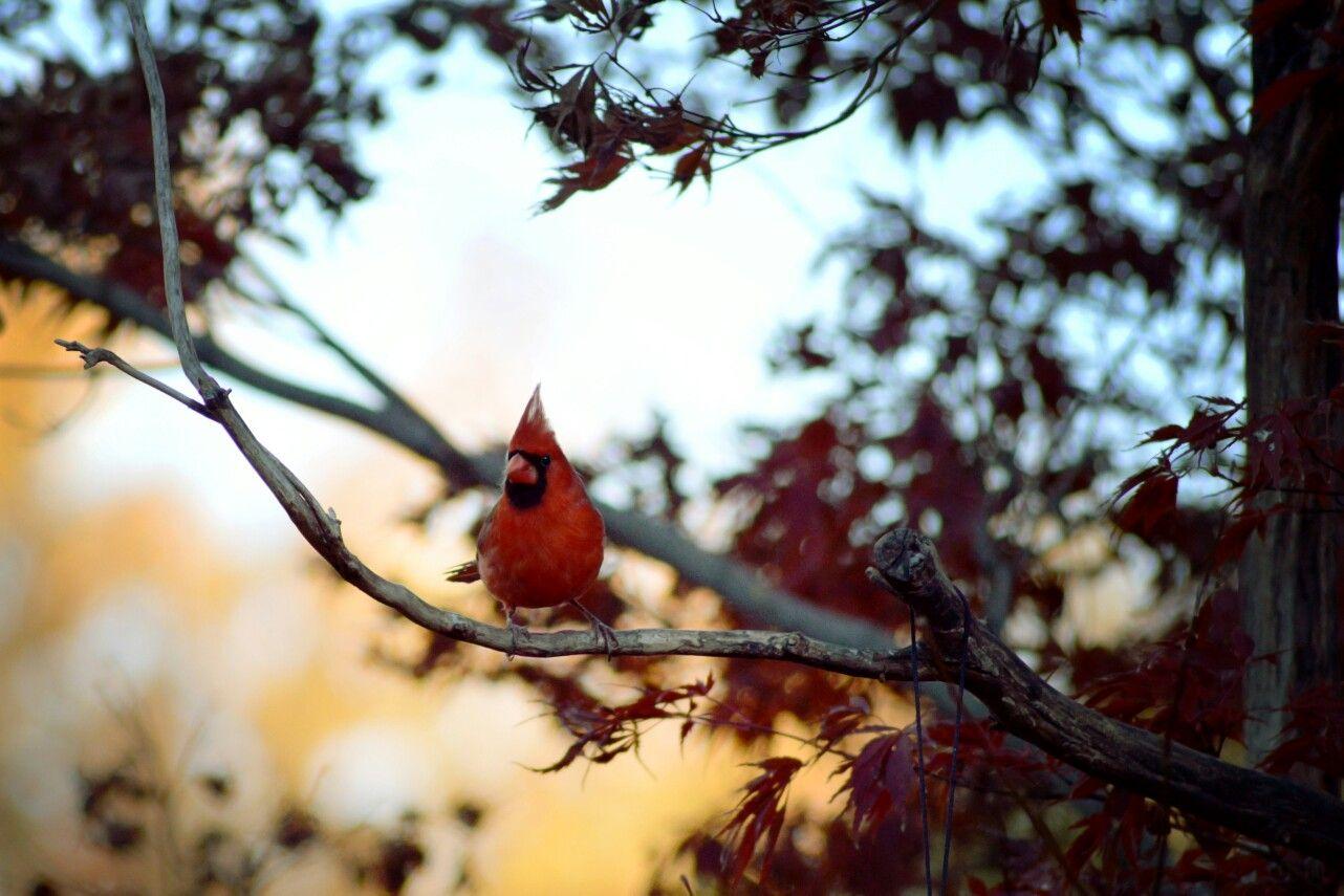 Cardinal backyard birds animals backyard