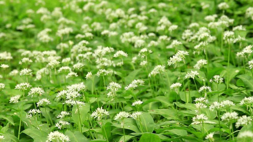 L'ail des ours (Allium ursinum) | Ail des ours, Planter ...