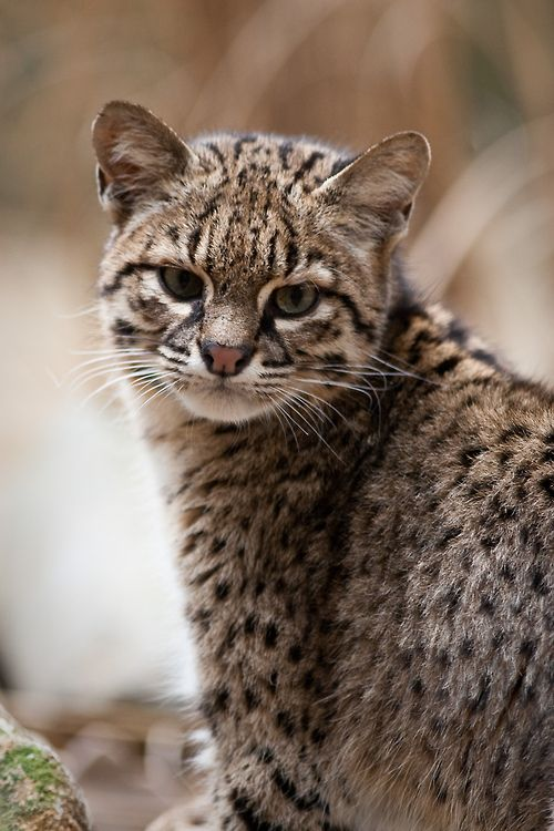 Geoffroy S Cat By A J Haverkamp Small Wild Cats Cats Animals