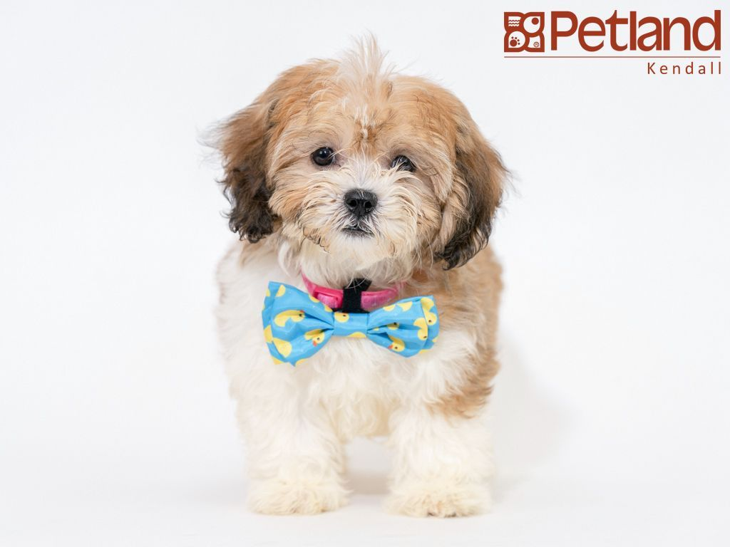 Petland Florida has Teddy Bear puppies for sale! Check out