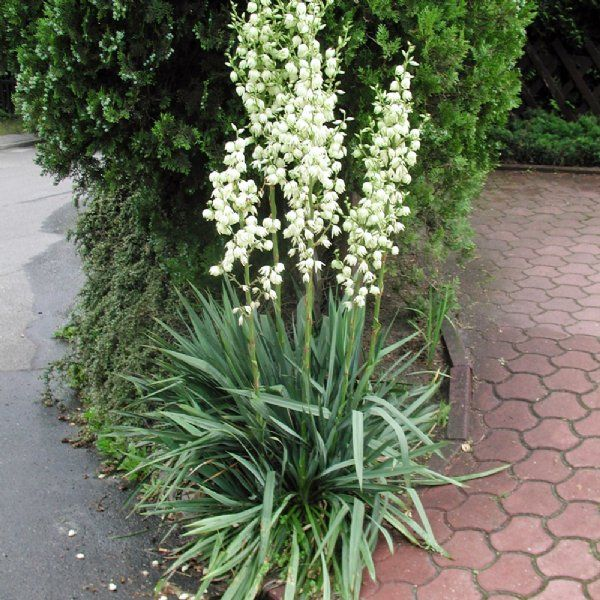 Adams Needle Yucca Plants For Sale Spoonleaf Free Shipping In 2020 Yucca Plant Plants Yucca