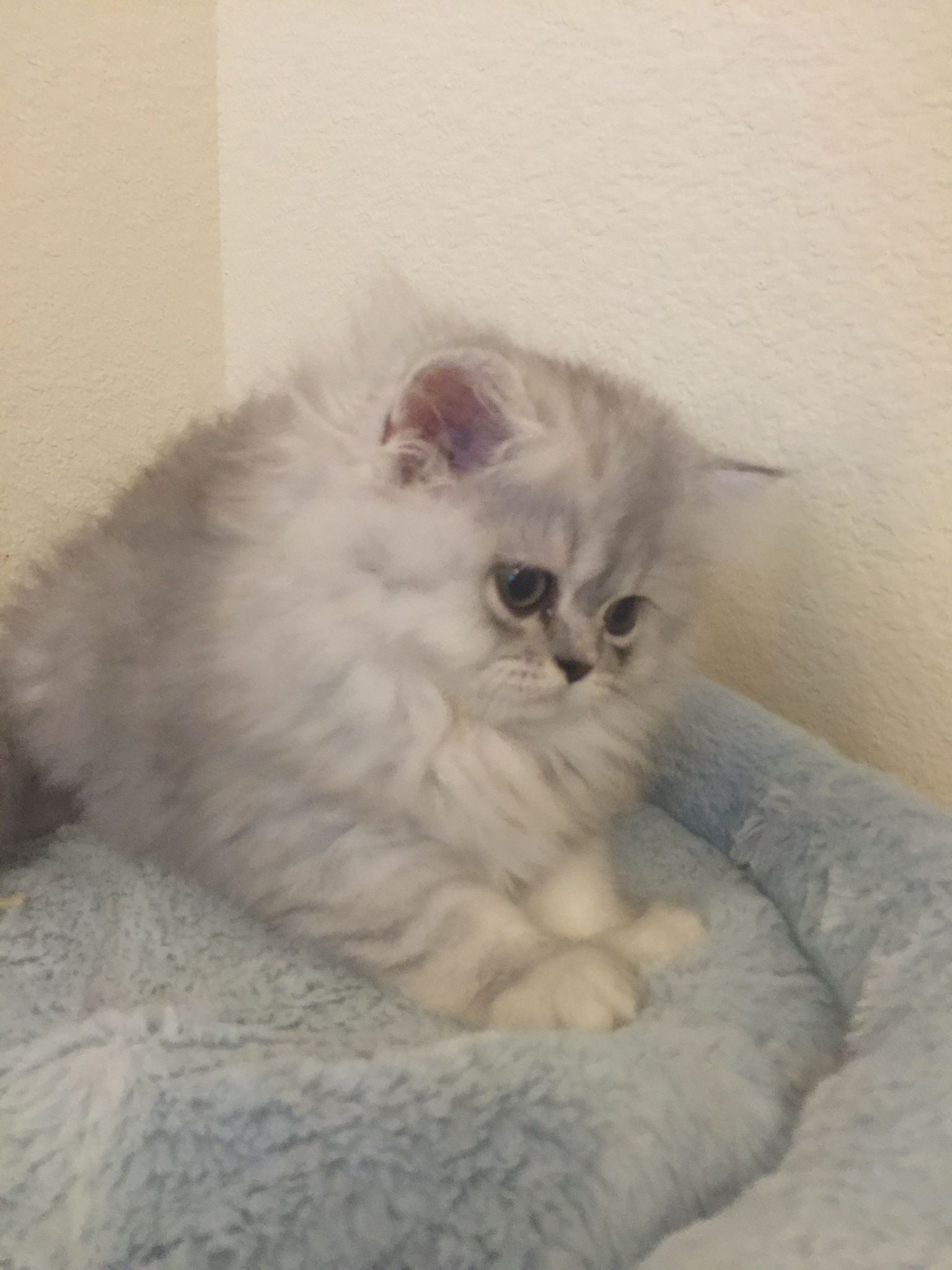 Beautiful Cfa Silver Persian Kittens For Saleshaded Silver Persian Kitten At Persiankittenpals Com I Have A Persian Kittens For Sale Persian Kittens Kittens
