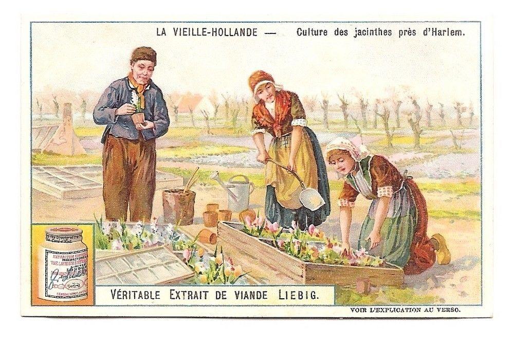 Culture jacinthes Harlem  - La Vieille Hollande - Chromo Liebig - Trade Card