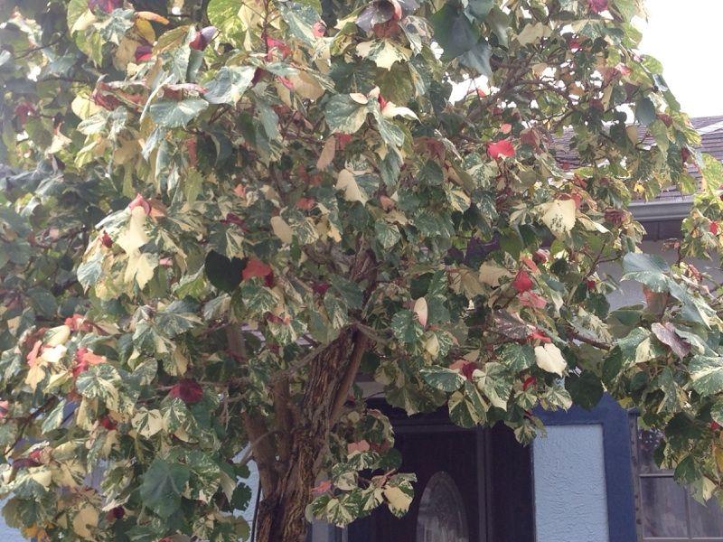 Sea Hibiscus Tree Talipariti Tiliaceum This Appears To Be A Mahoe