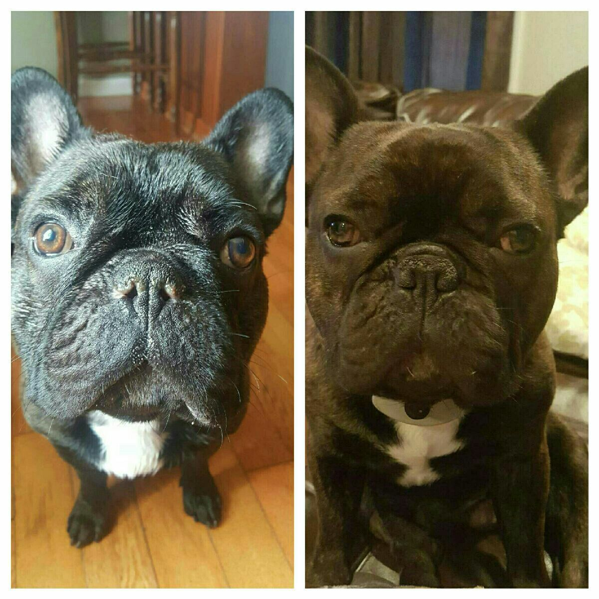 Gus After Nare Soft Palate Surgery Bulldog Soft Palate
