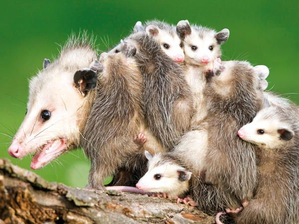 Las madres y sus crías [mamíferos] | Marsupiales | Pinterest ...