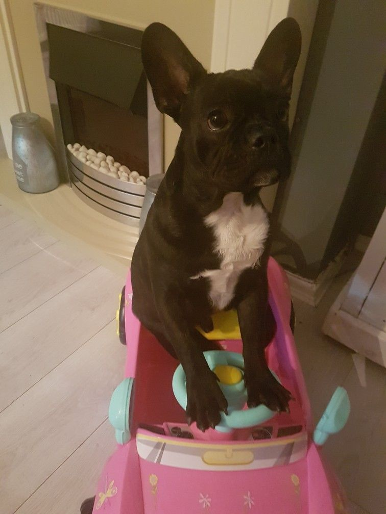 You Want Anything From The Shops Polish The French Bulldog
