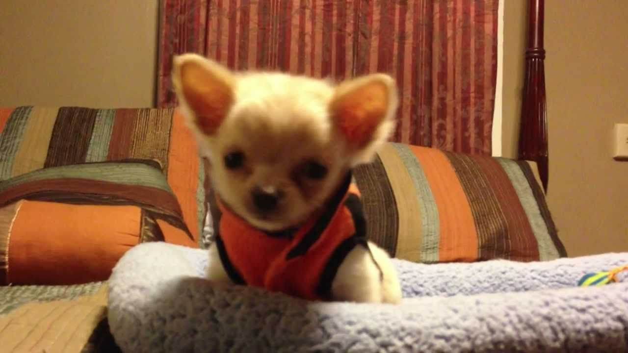 Chihuahua Puppy Says No Chihuahua Puppies Chihuahua Dogs