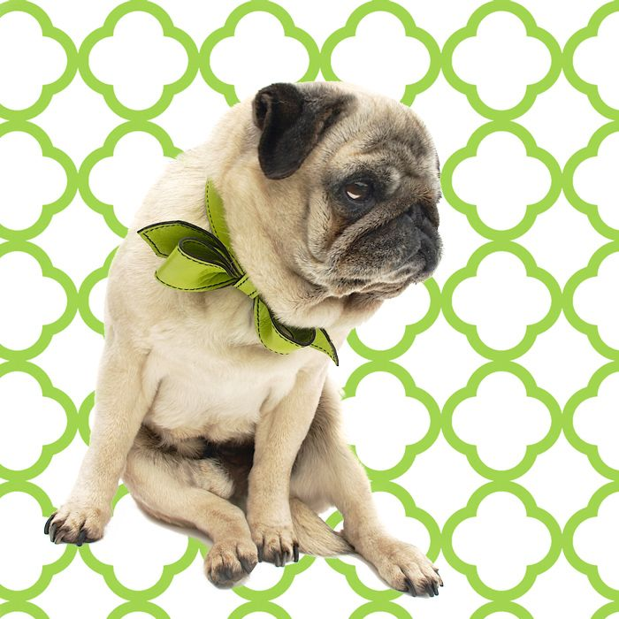 Reiley The Pug Tests Out Our New Limelight Martini Bowtie Collar He S Feeling Happier Than He