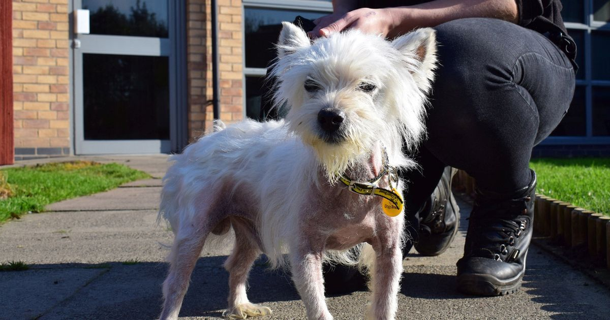 Adorable Bald Terrier Finds Loving New Home Terrier Dogs Trust