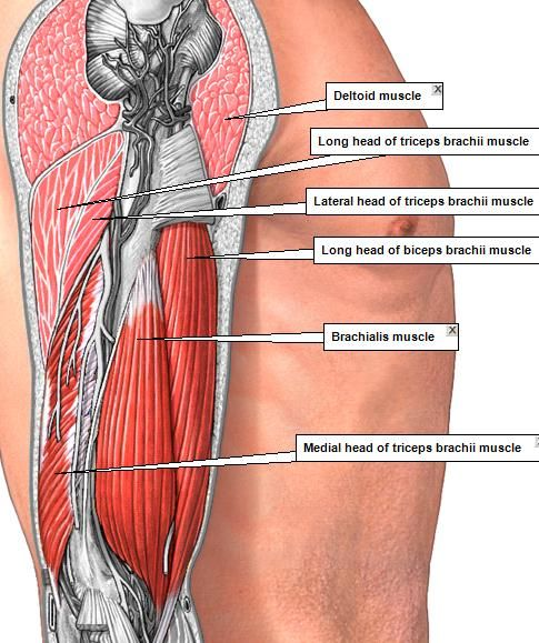 Pop-Anatomy - ADAM MUSCLES 2   Anatomico   Pinterest   Anatomía ...