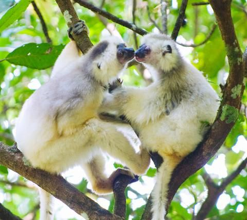 Two silky sifakas, among the rarest animals in the world, nosing around each other in the rain forest of Madagascar.