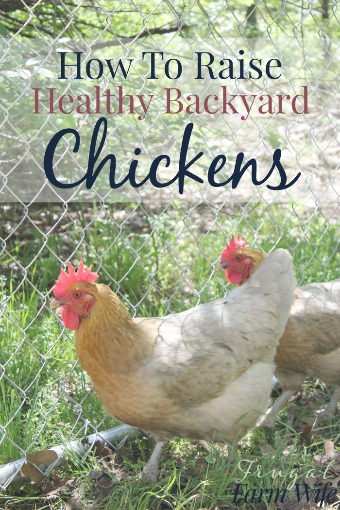 How To Raise Healthy Chickens In Your Backyard - so many good tips!  #PurinaOrganicFeed @PurinaPoultry (ad) - How To Raise Healthy Chickens In Your Backyard Grow All The Things