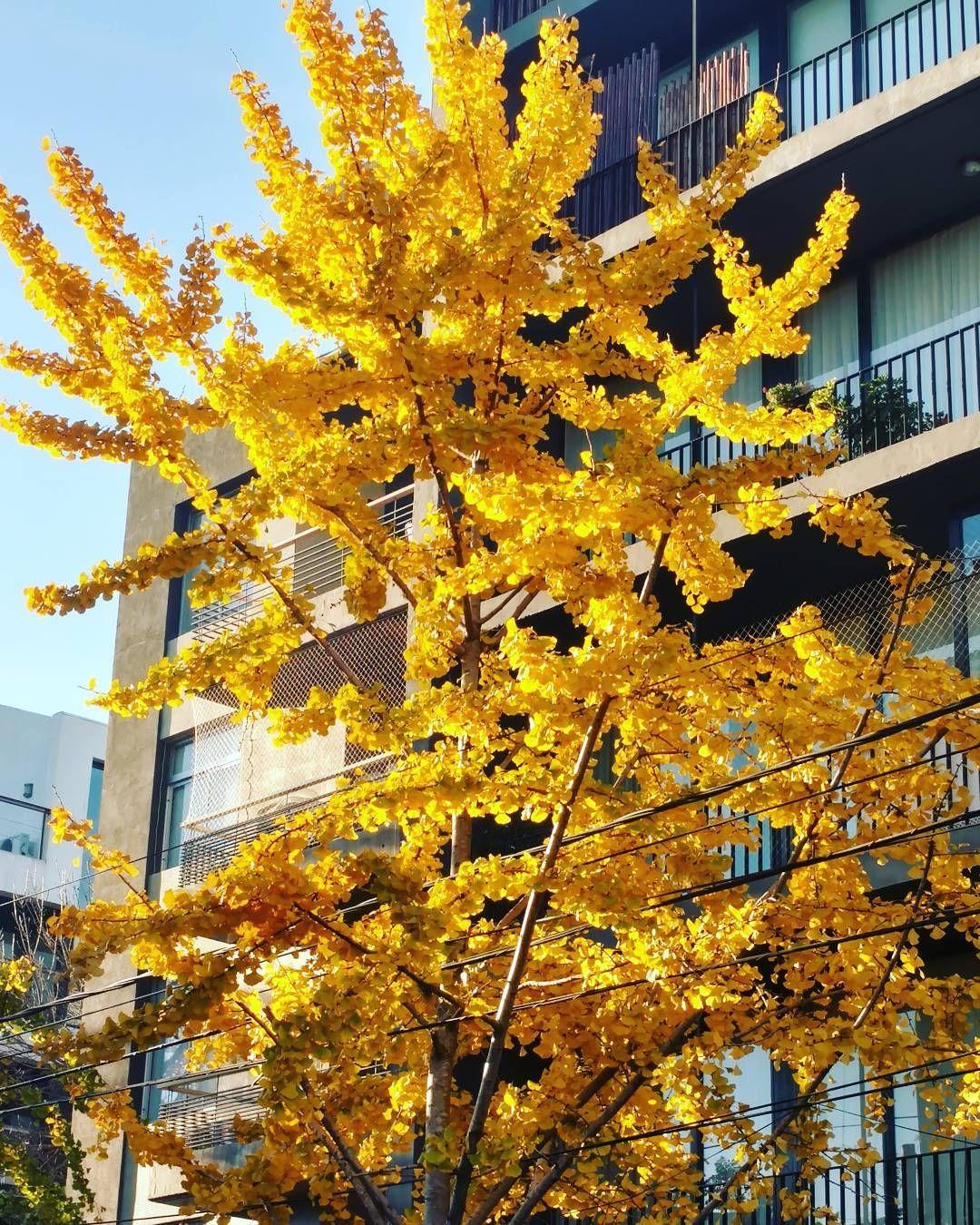 De mis árboles favoritos! Cómo era que se llamaba?  #morning #walk #lunes #caminata #lalucila #likezonanorte #arbol #otoño #fall #yellow #buenosaires #vicentelopez #amanecer #sunrise