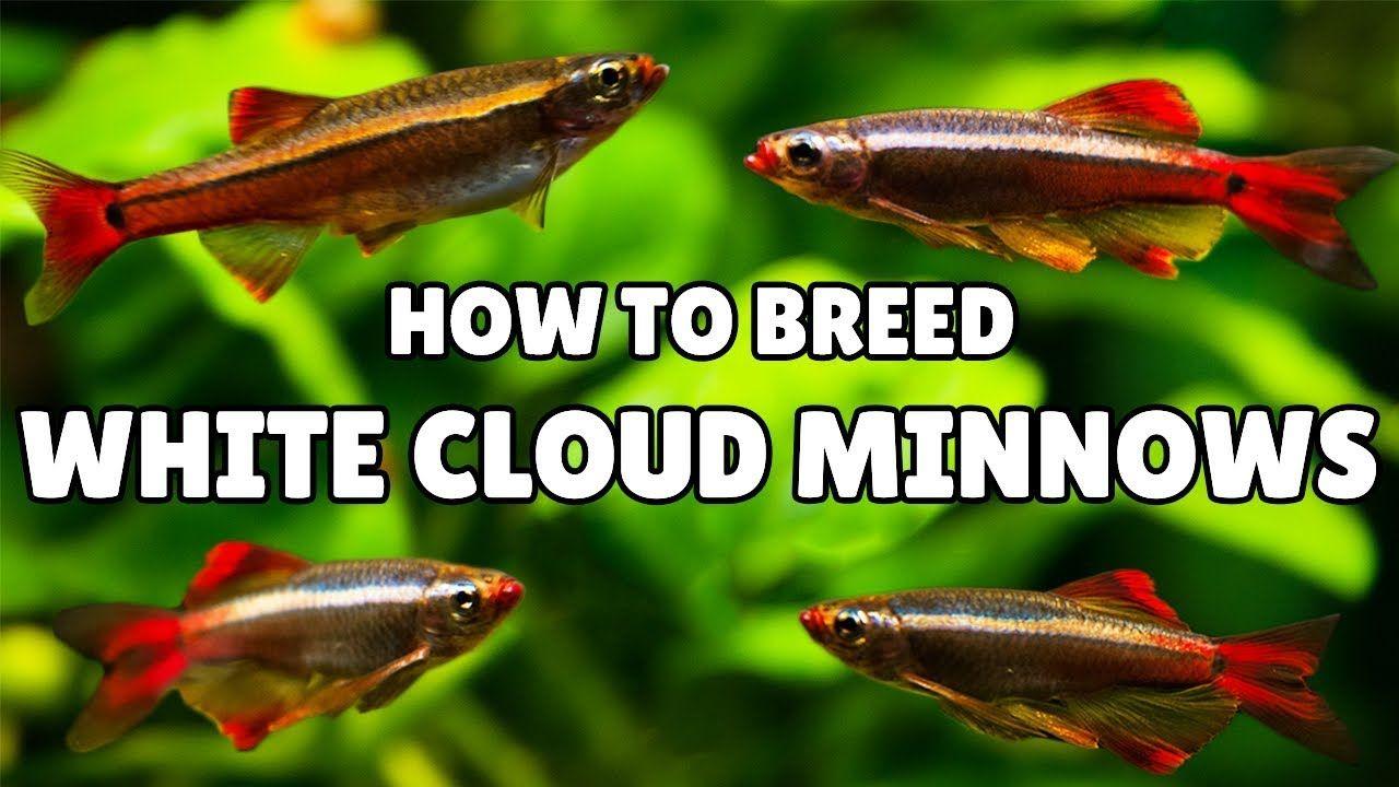 White Cloud Mountain Minnow Breeding Super Simple Aquarium Videos White Cloud Minnow Breeds