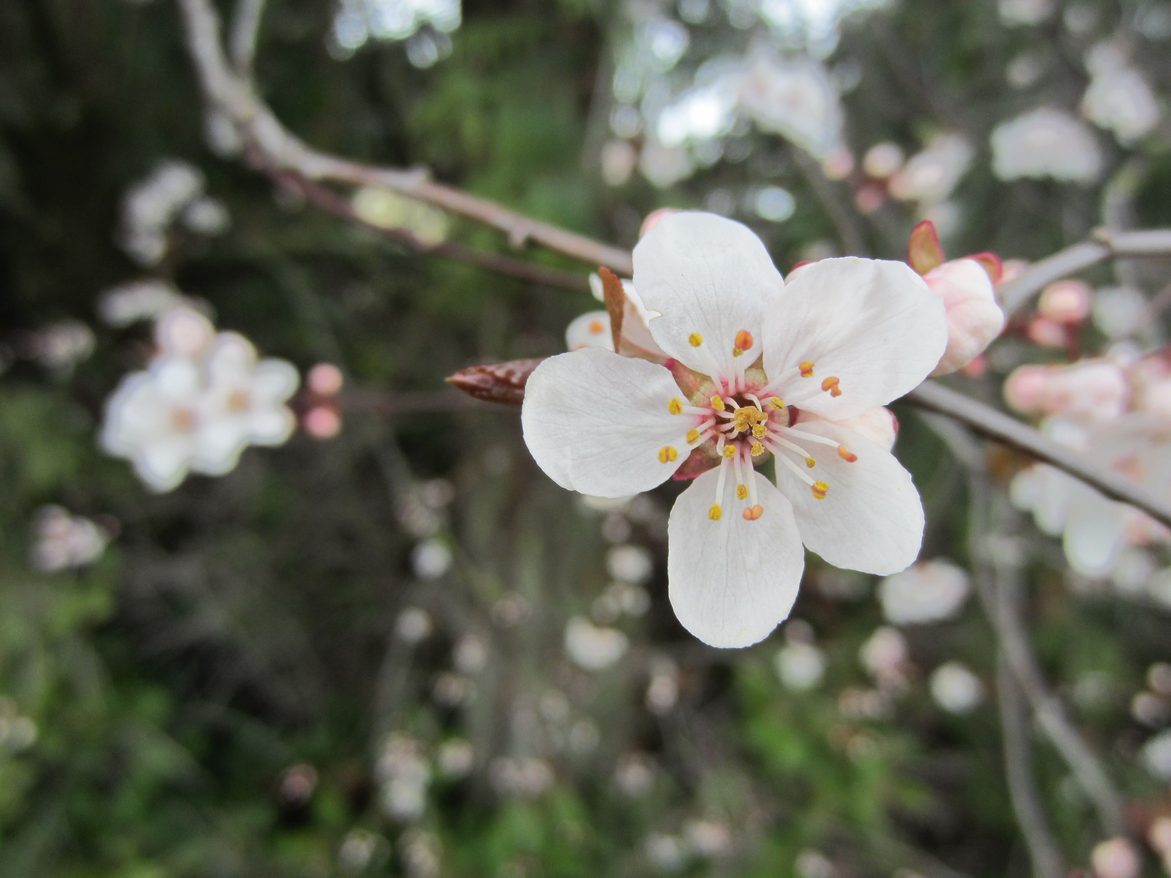 Cherry Blossom - Sky Nyland