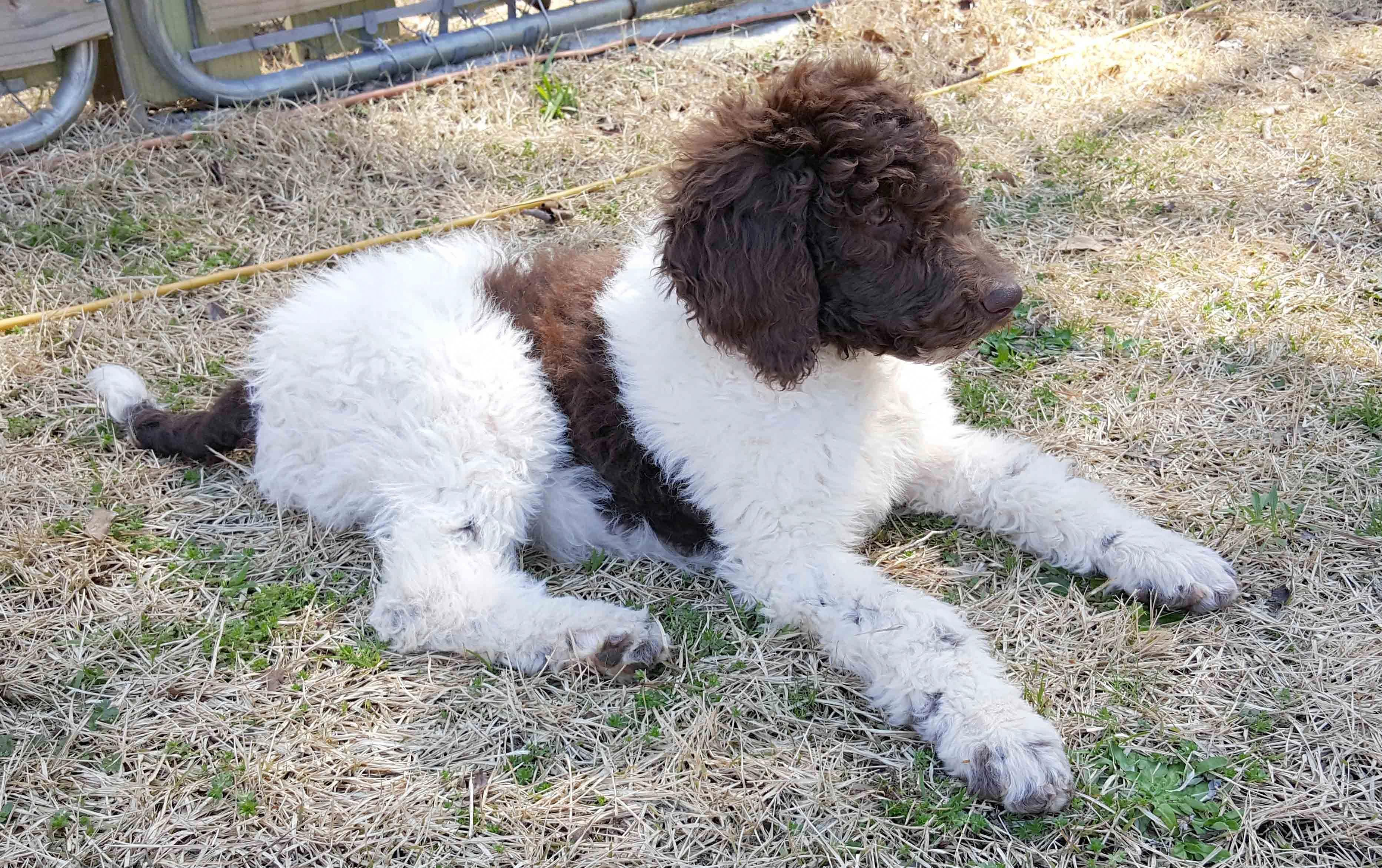 One Of Chocolate And White Standard Poodle Pups We Ve Had At