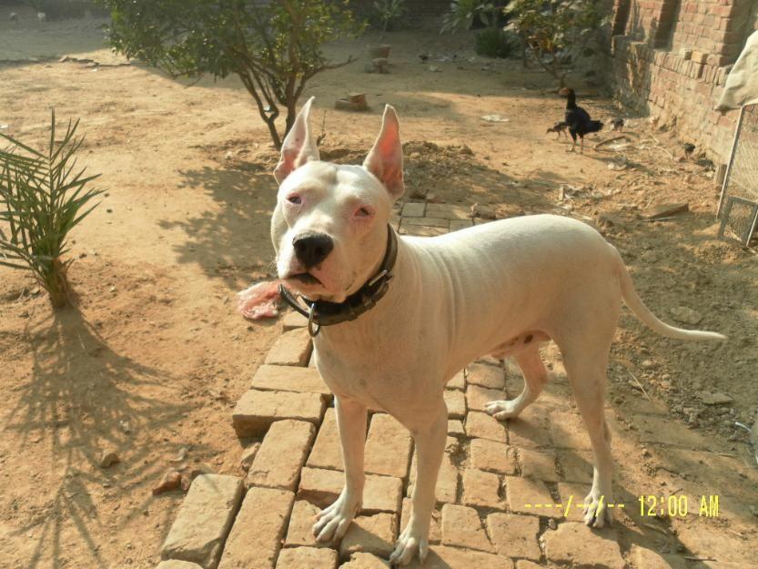 Pakistani Gull Terr Pakistani Bull Terrier Kohati Gull Terr Gull Terr Kohati Gultair Bully Dog Gull Terrier Bull Terrier
