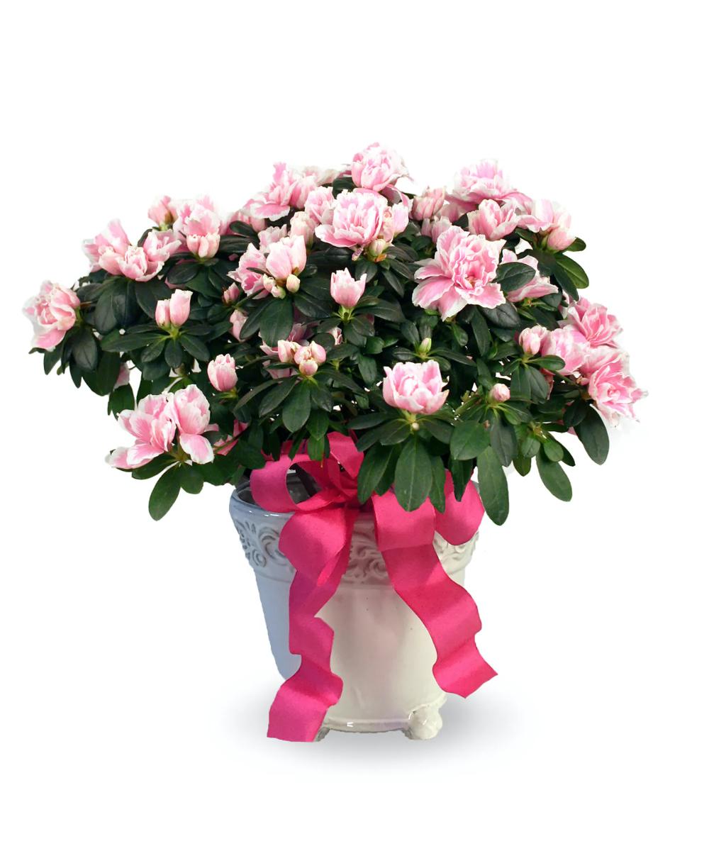 Azalea Plant In 2020 Azaleas Mothers Day Flowers Flowers Online