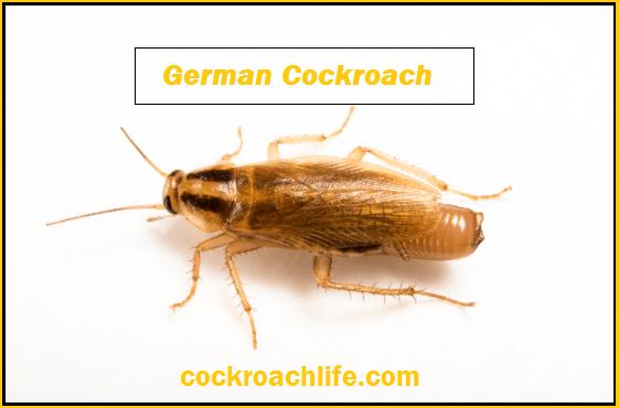 German Cockroach Blattella Germanica Life Cycle Facts German