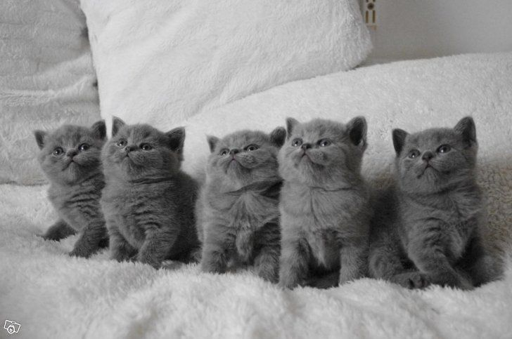 British Shorthair Baby Cats Kittens Cutest British Blue Cat