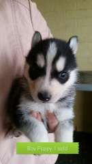 Siberian Husky Puppies For Sale Siberian Husky Puppies For Sale