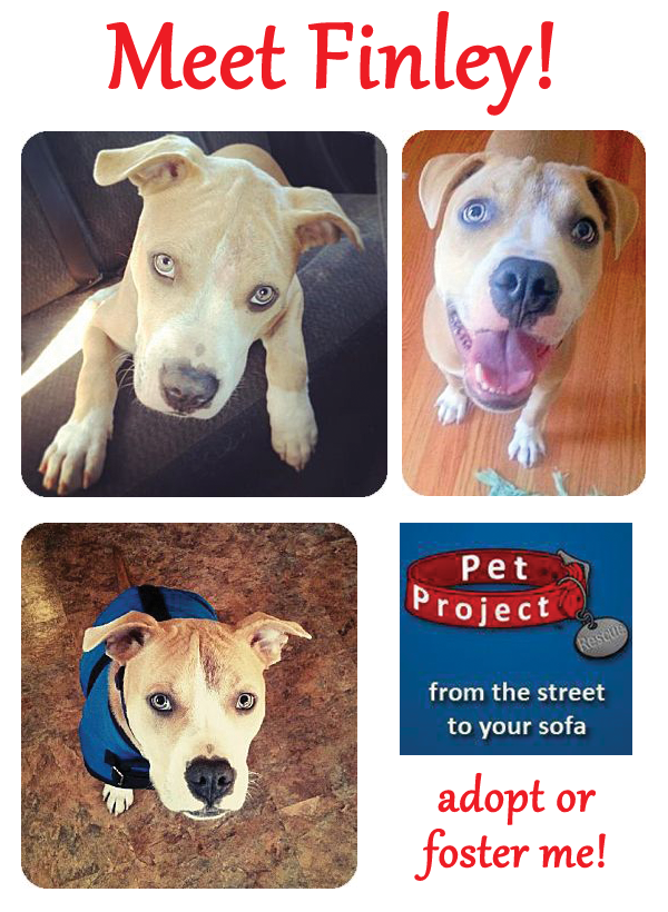 Meet Finley An Adoptable American Bulldog Pit Bull Mix In Mn Pitbull Adopt Petprojectrescue Dog Adoption Pitbulls Dogs