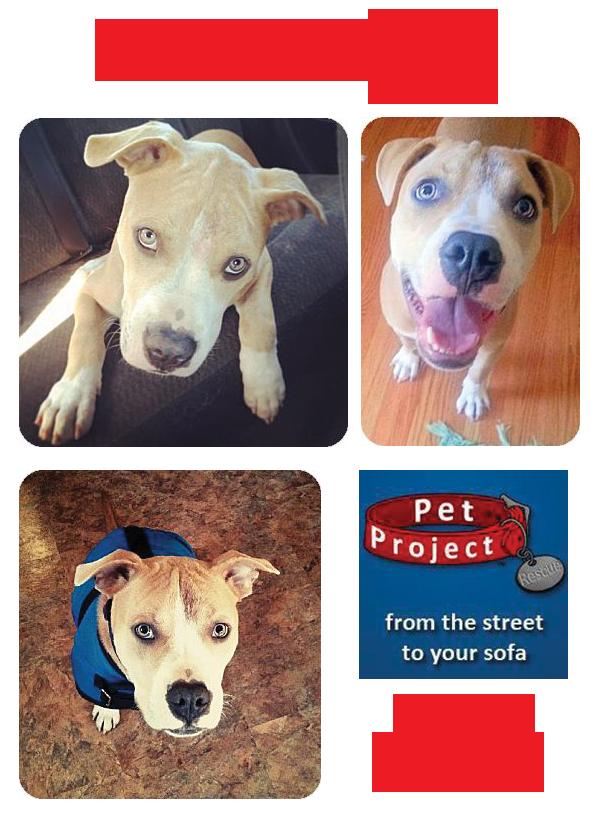 Meet Finley An Adoptable American Bulldog Pit Bull Mix In Mn Pitbull Adopt Petprojectrescue Dog Adoption Pitbulls Dogs