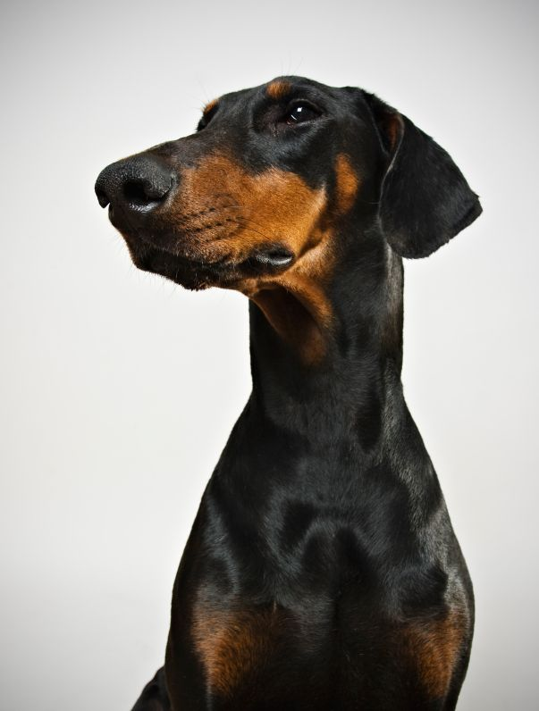 The Doberman Pinscher S Classic Look Is One Of Erect Pointed Ears And A Short Tail But The Dog