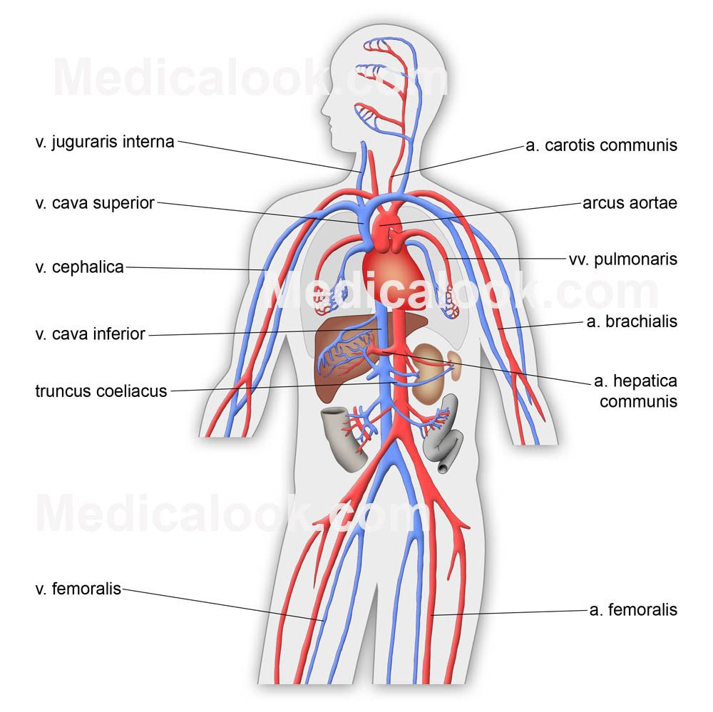 a description of the circulatory system Biology4kidscom this tutorial introduces the circulatory system other sections  include cells, plants, invertebrates, and vertebrates.