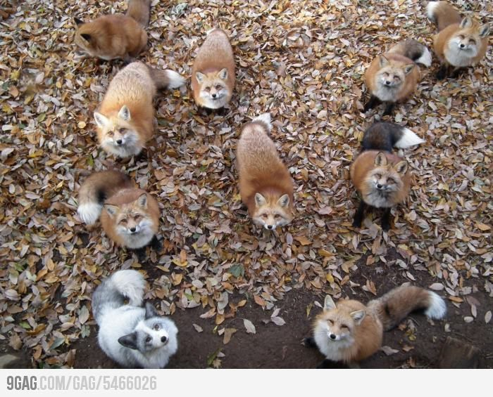 I just saw a fleet of foxes.