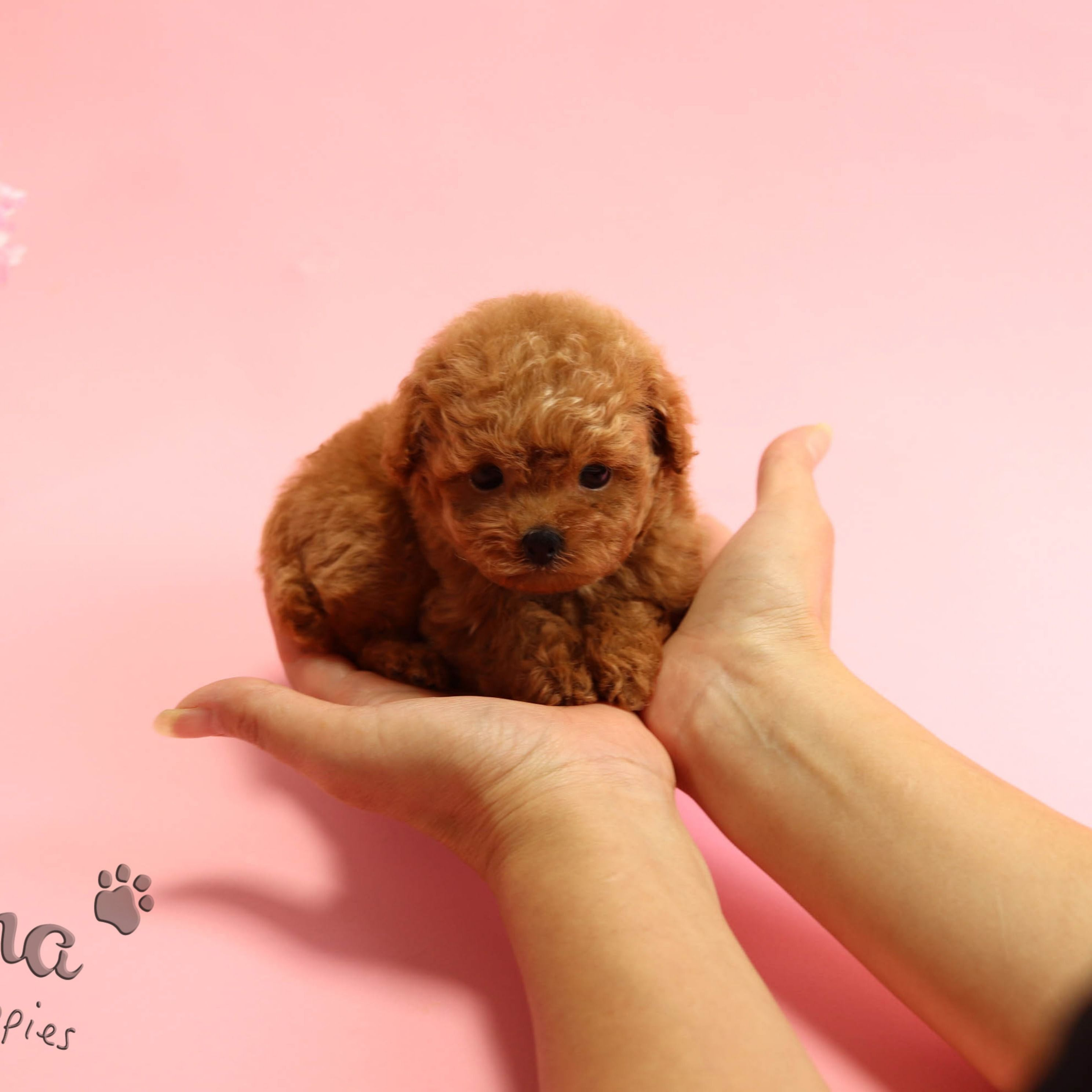 Mini Red Poodle Boy Https Www Alohateacuppuppies Com