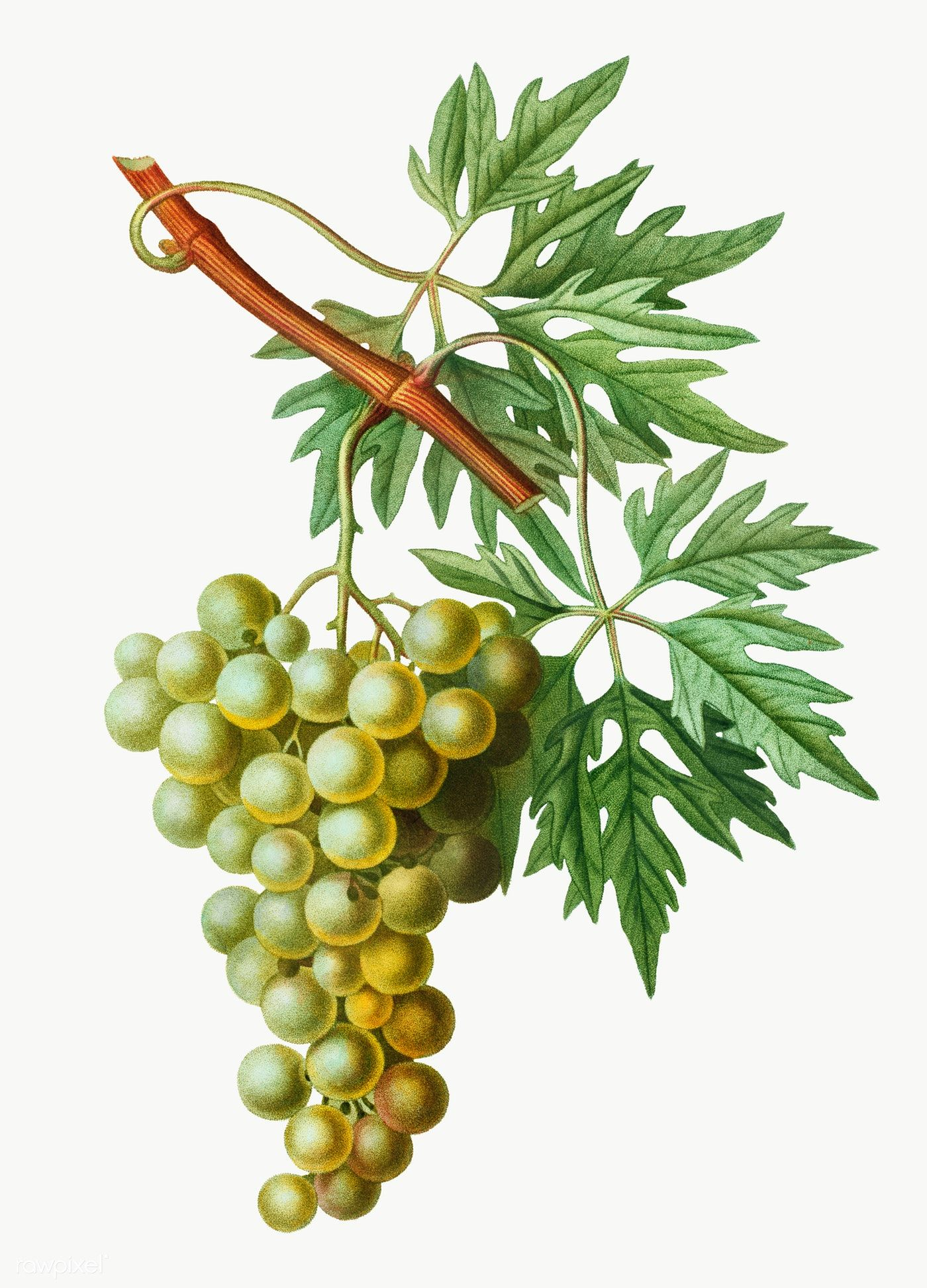 Vintage Grape Vine Branch Transparent Png Free Image By Rawpixel Com Grapes Green Grapes Grape Vines