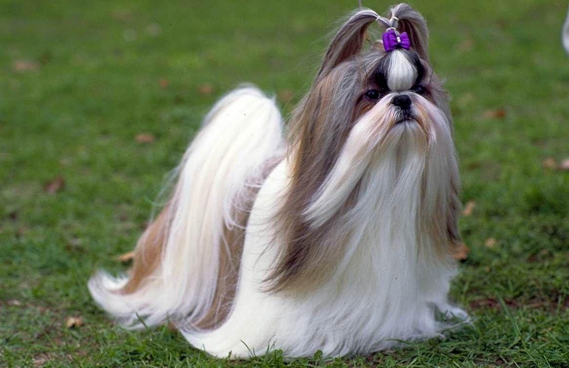 Shih Tzu Long Hair Google Search Dogs Pinterest Shih Tzu