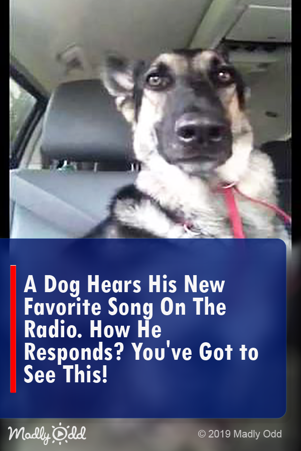 A dog hears his new favorite song on the radio. How he responds? You've got to see this! #dogs #funny #dog #video #animals #pets