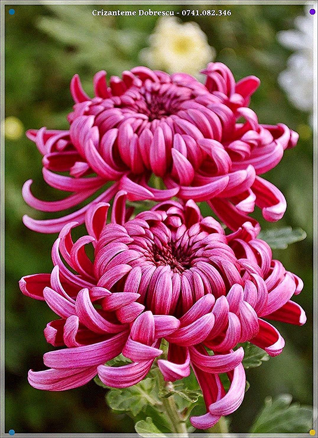 Chrysantheme Tatouage In 2020 Chrysanthemum Flower Garden Flower Beds Flowers Nature