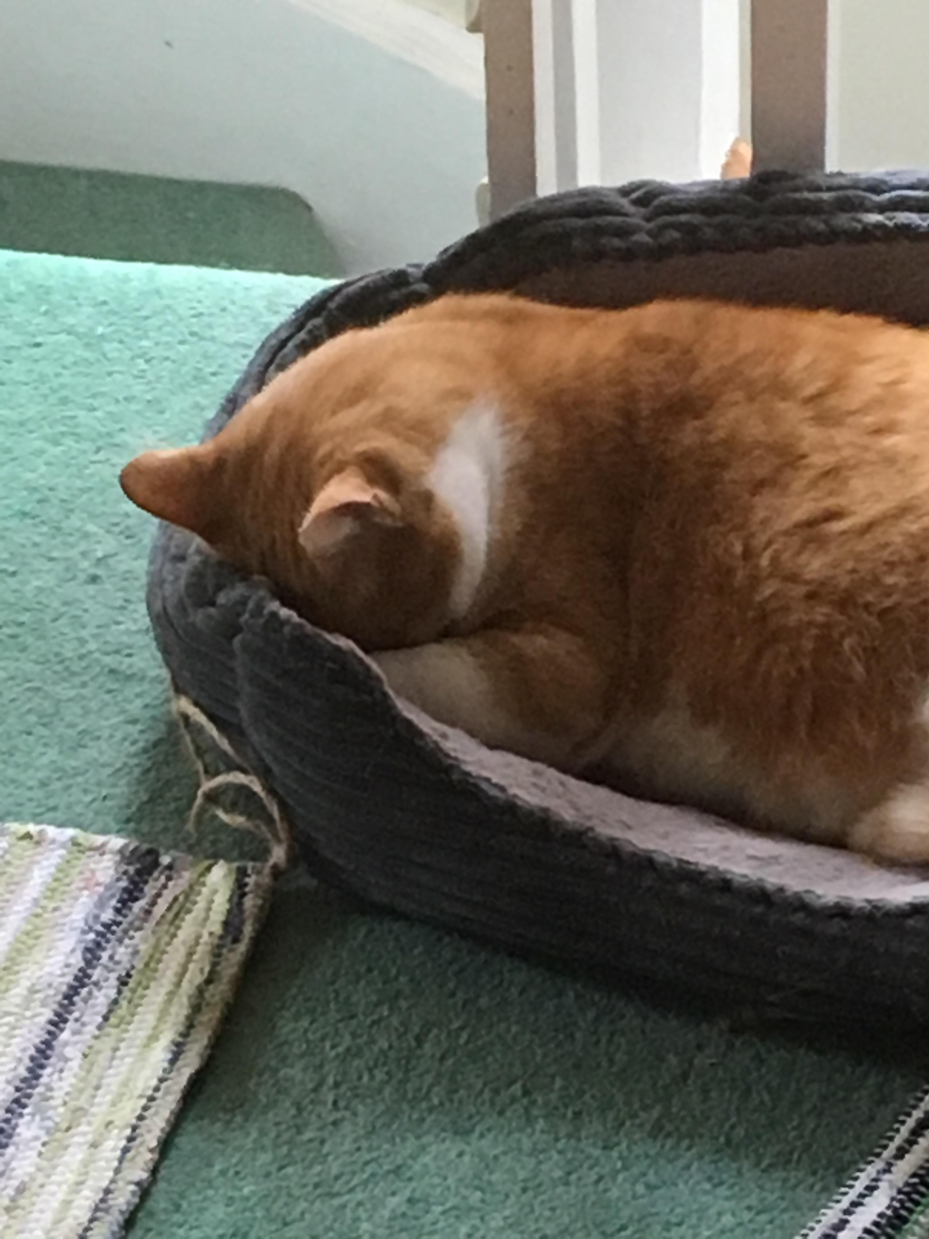 Faceplanted into bed! #aww #cute #cutecats #catsofpinterest #cuddle #fluffy #animals #pets #bestfriend #boopthesnoot