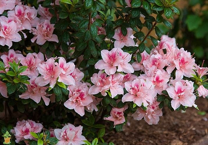 Autumn Belle Encore Azalea Azalea Flower Flowers Trees To Plant