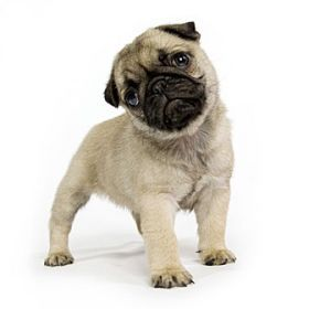 Breed Comparison Can Select Several To Compare Pug Puppies