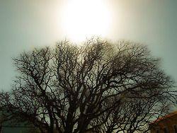 Ilovik 04-2011 Stammbaum der Insel