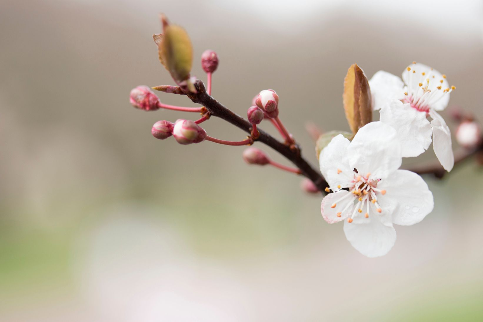 Pin By Xxmedium On Flower Meanings Flower Meanings Cherry Blossom Blossom