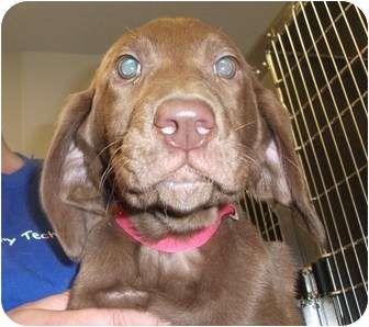 US Labrador Retriever Dog Rescues List by 8PawsUp
