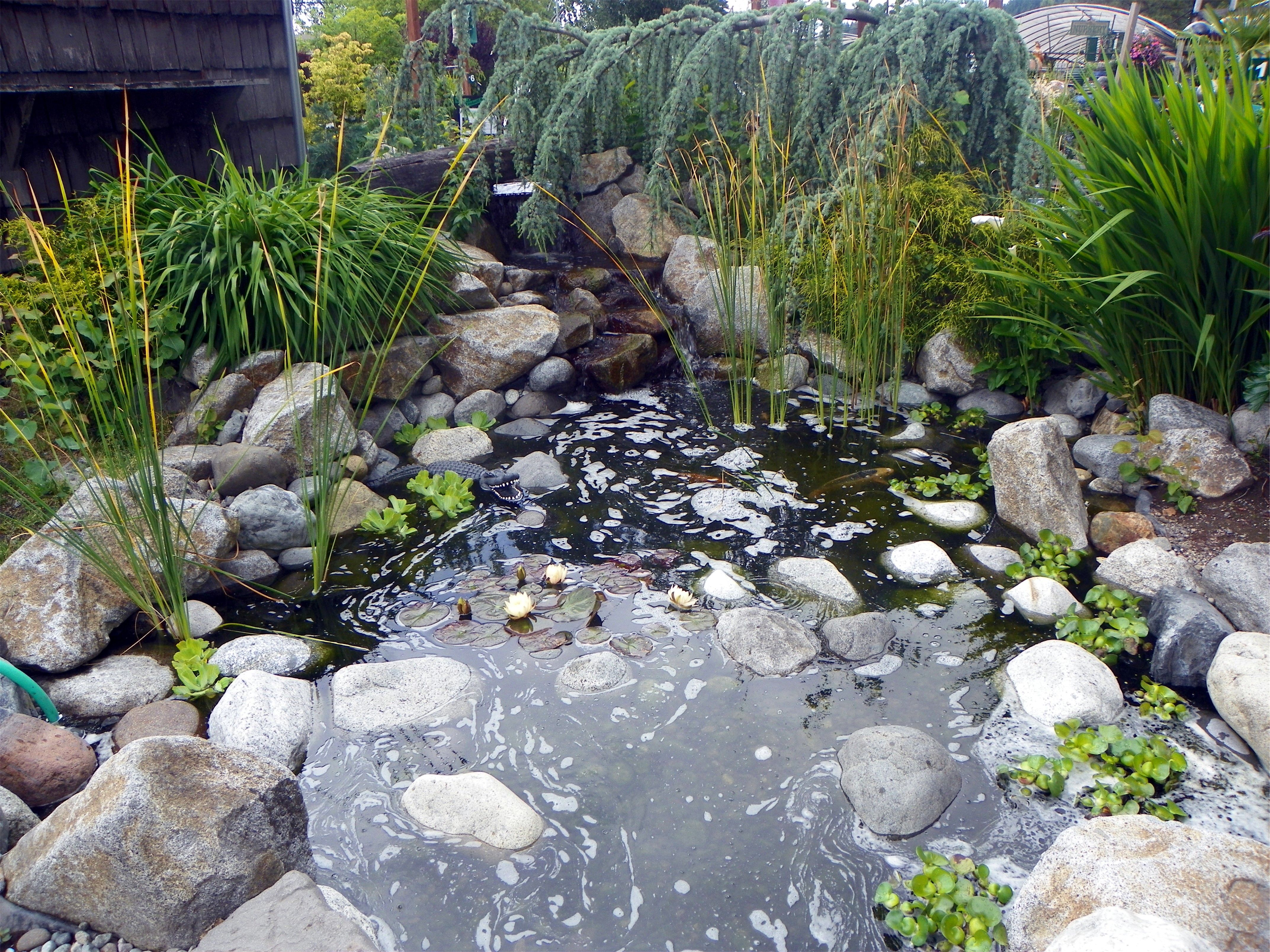 Koi Fish At The Pond Store Sumner Wa Pool Water Features Water Garden Pond Store