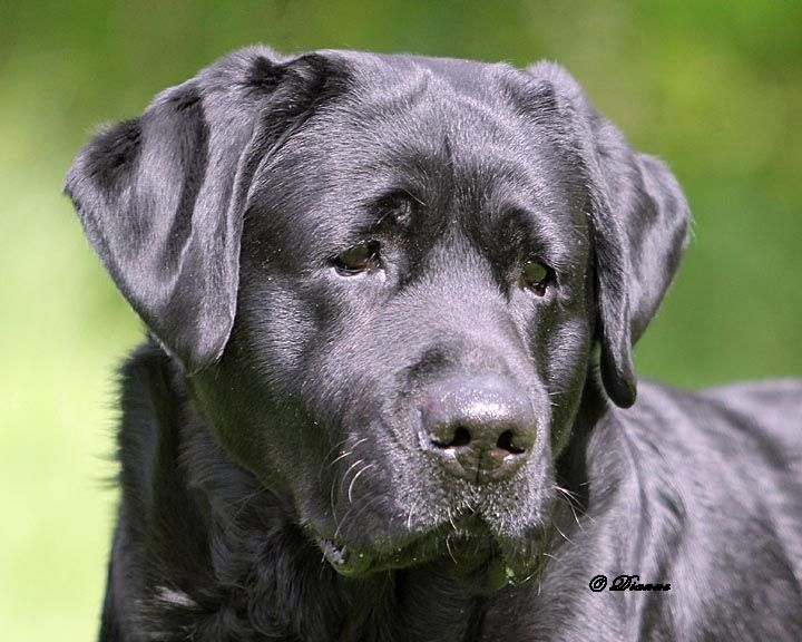 Pucketts Super Charged At Startop Labradors Startop Labradors Boys Stud Dogs Startop Labra In 2020 Labrador Retriever Puppies Labrador Retriever Labrador Breeders