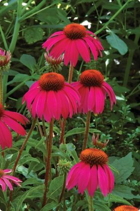 Echinacea Red Knee High Bulb Flowers Perennials Wholesale Flowers