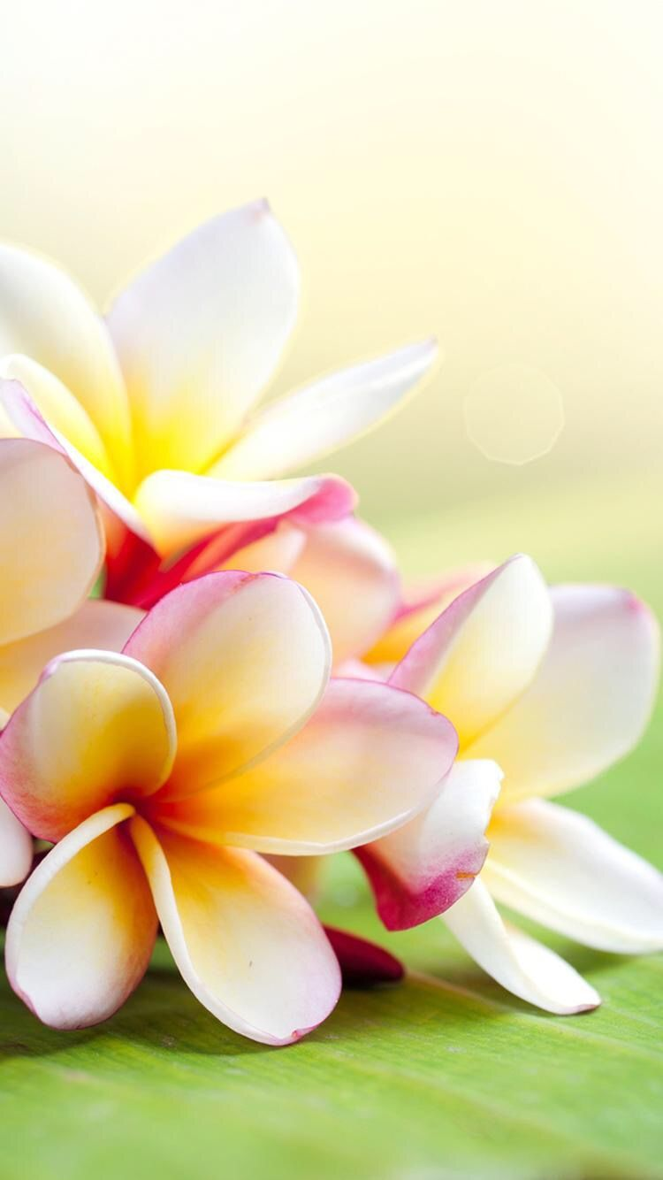 Plumeria- One of my all time favorite blooms❤️