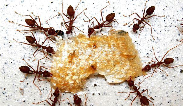 comment se d barrasser des fourmis fourmis le. Black Bedroom Furniture Sets. Home Design Ideas