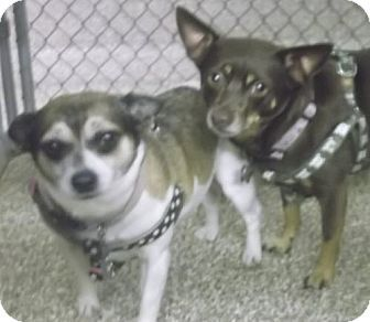 Martinsburg Wv Chihuahua Mix Meet Daisy And Cocoa A Pair Of