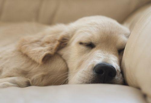 Precious Golden Retriever Puppy Sleeping Pet Photography