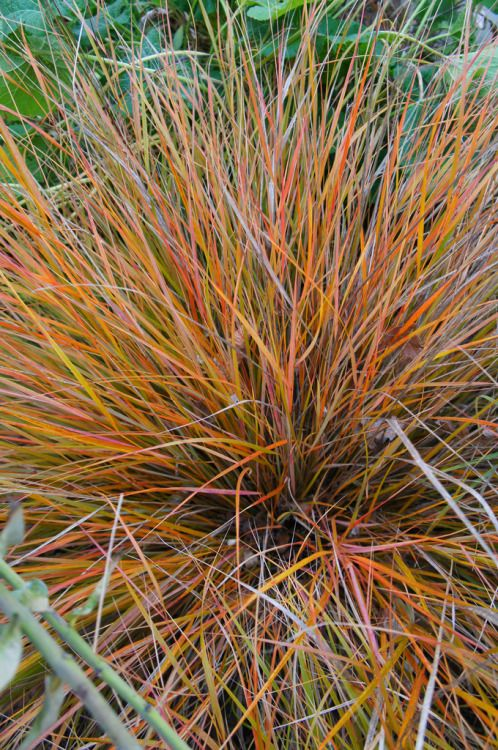 Orange Sedge Ornamental Grass Stipa arundinacea semi evergreen grass with yellow orange green stipa arundinacea semi evergreen grass with yellow orange green and bronze foliage colors deepen in fall for sunny pots available now workwithnaturefo